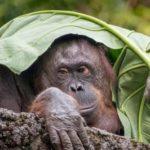 Орангутаны оказались единственными не человекообразными приматами, способными говорить о прошлом
